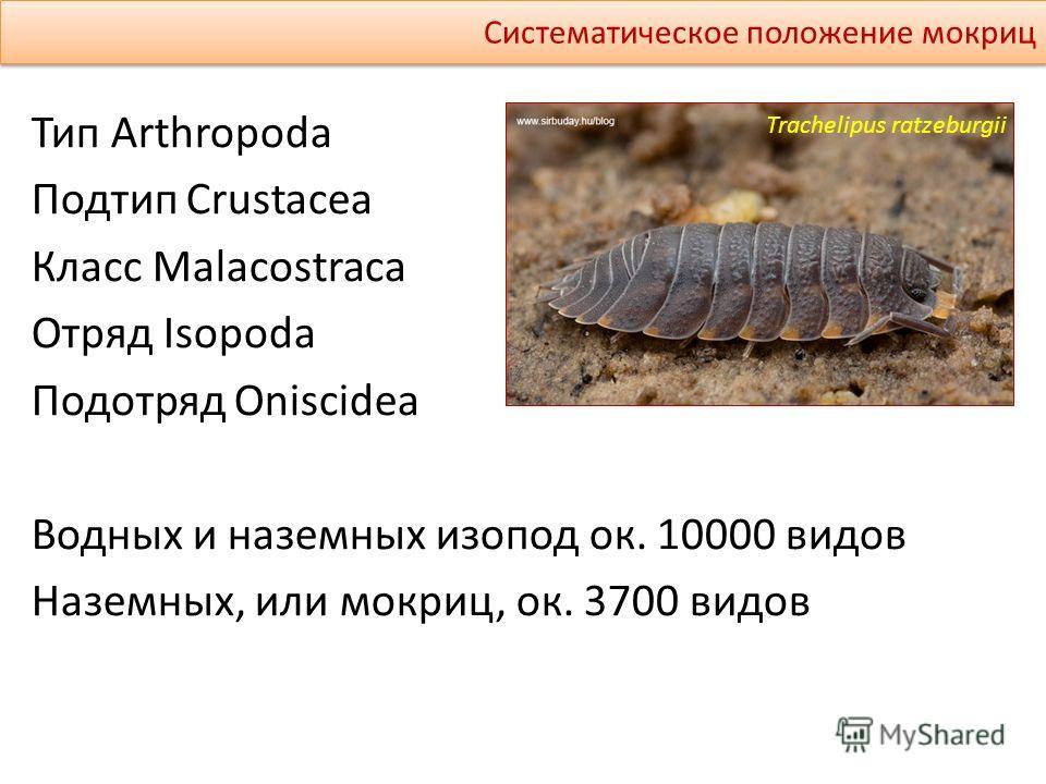 Тип Arthropoda Подтип Crustacea Класс Malacostraca Отряд Isopoda Подотряд Oniscidea Водных и наземных изопод ок. 10000 видов Наземных, или мокриц, ок. 3700 видов Систематическое положение мокриц Trachelipus ratzeburgii