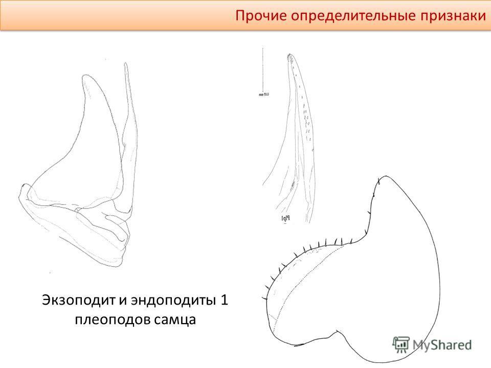 Прочие определительные признаки Экзоподит и эндоподиты 1 плеоподов самца
