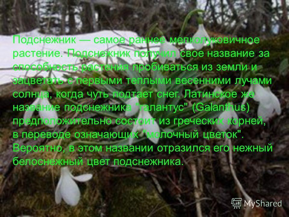 Подснежник самое раннее мелколуковичное растение. Подснежник получил свое название за способность растения пробиваться из земли и зацветать с первыми теплыми весенними лучами солнца, когда чуть подтает снег. Латинское же название подснежника