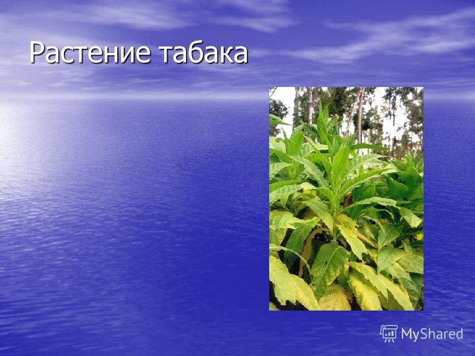 Растение табака