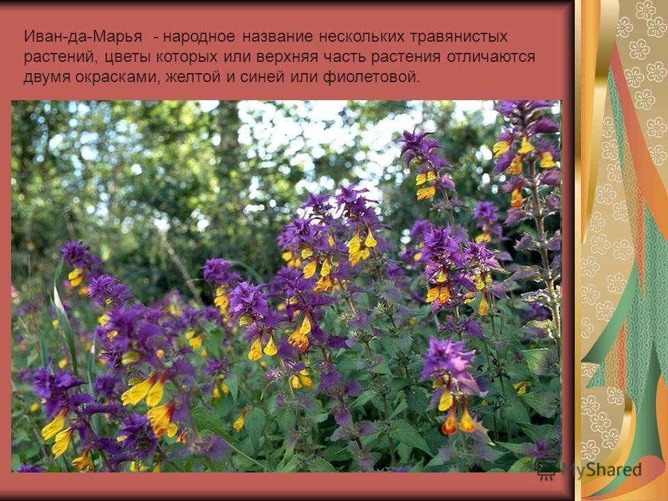 Иван-да-Марья - народное название нескольких травянистых растений, цветы которых или верхняя часть растения отличаются двумя окрасками, желтой и синей или фиолетовой.