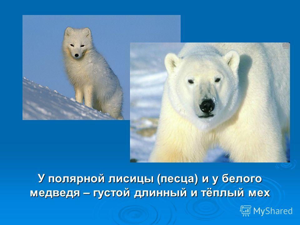 У полярной лисицы (песца) и у белого медведя – густой длинный и тёплый мех