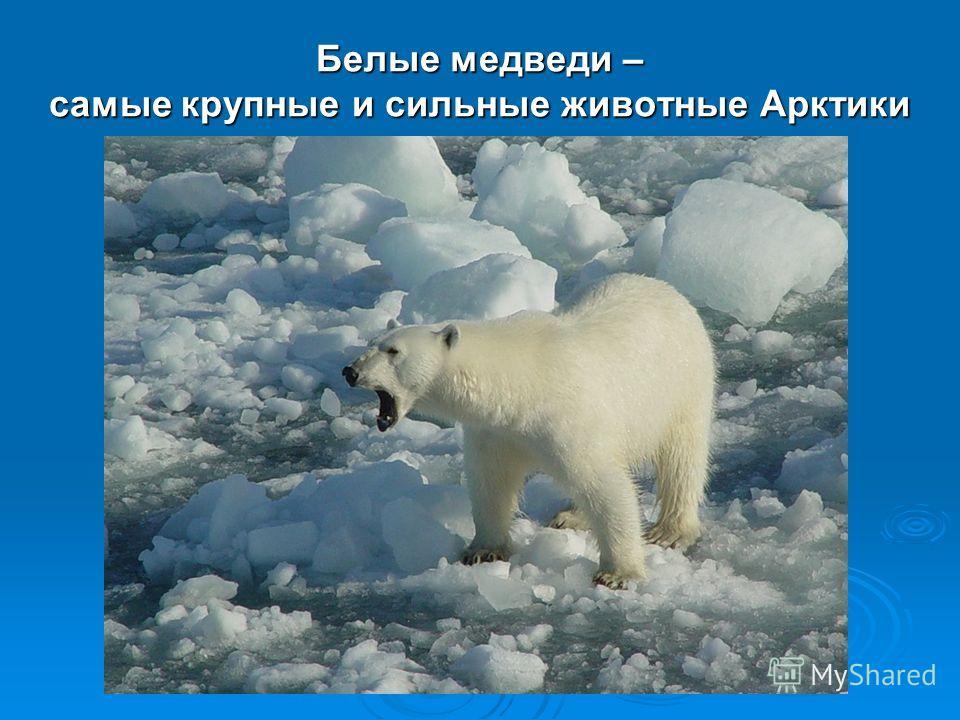 Белые медведи – самые крупные и сильные животные Арктики