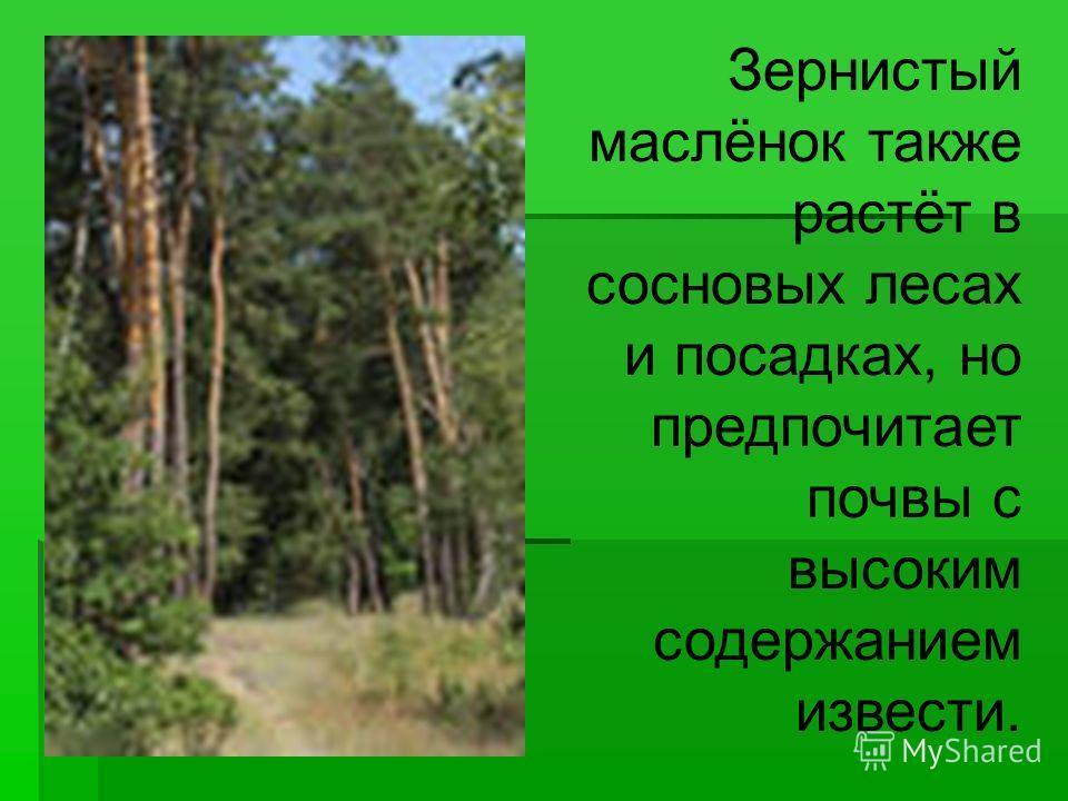 Зернистый маслёнок также растёт в сосновых лесах и посадках, но предпочитает почвы с высоким содержанием извести.