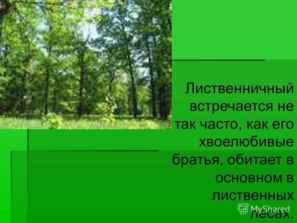 Лиственничный встречается не так часто, как его хвоелюбивые братья, обитает в основном в лиственных лесах.
