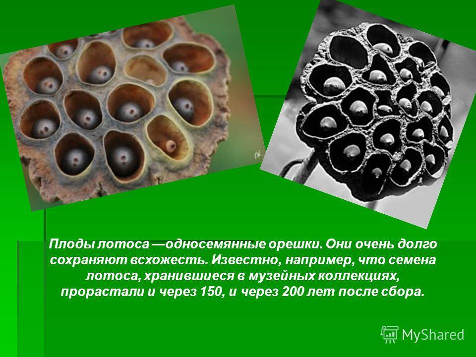 Плоды лотоса односемянные орешки. Они очень долго сохраняют всхожесть. Известно, например, что семена лотоса, хранившиеся в музейных коллекциях, прорастали и через 150, и через 200 лет после сбора.