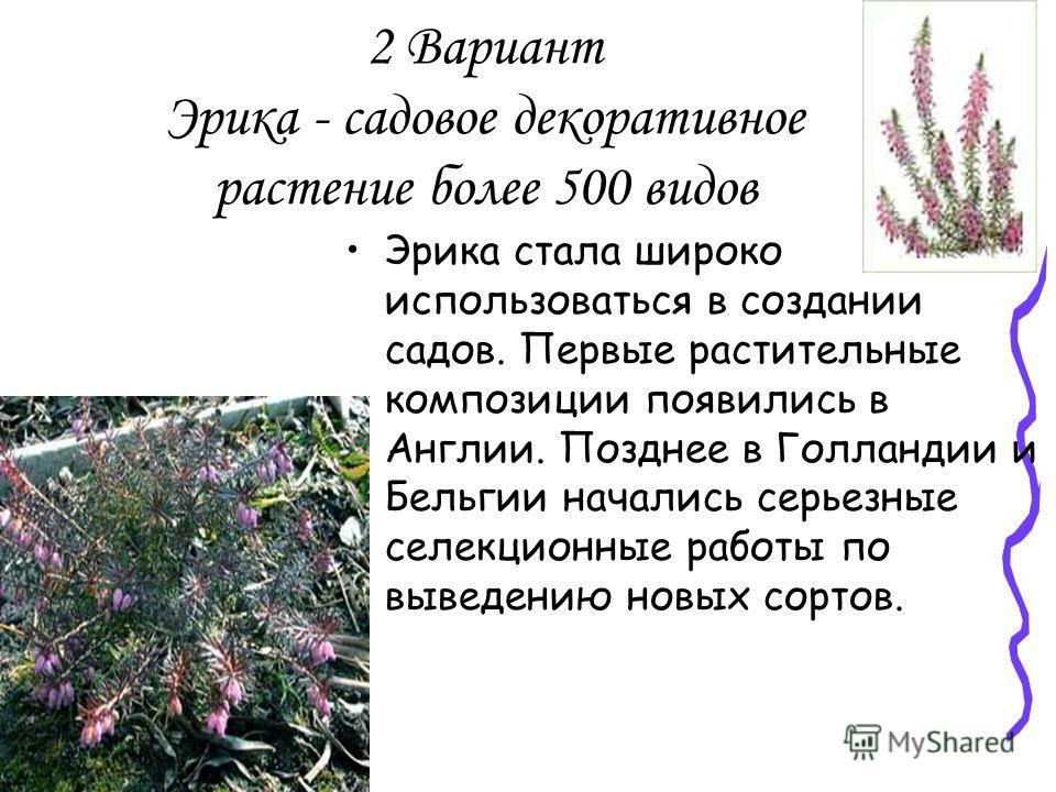 2 Вариант Эрика - садовое декоративное растение более 500 видов Эрика стала широко использоваться в создании садов. Первые растительные композиции появились в Англии. Позднее в Голландии и Бельгии начались серьезные селекционные работы по выведению н