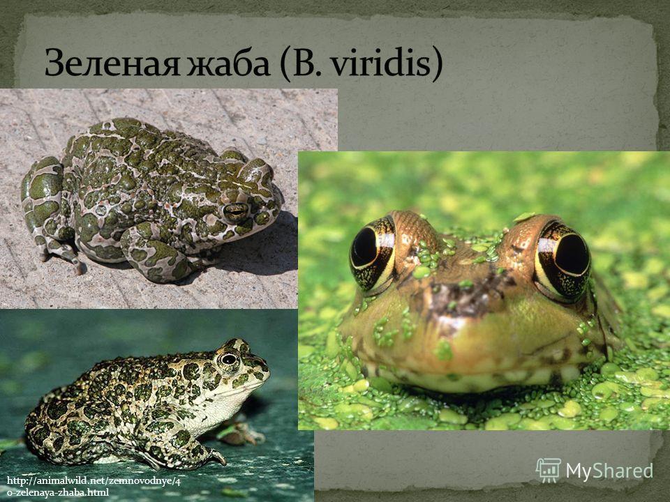 http://animalwild.net/zemnovodnye/4 0-zelenaya-zhaba.html