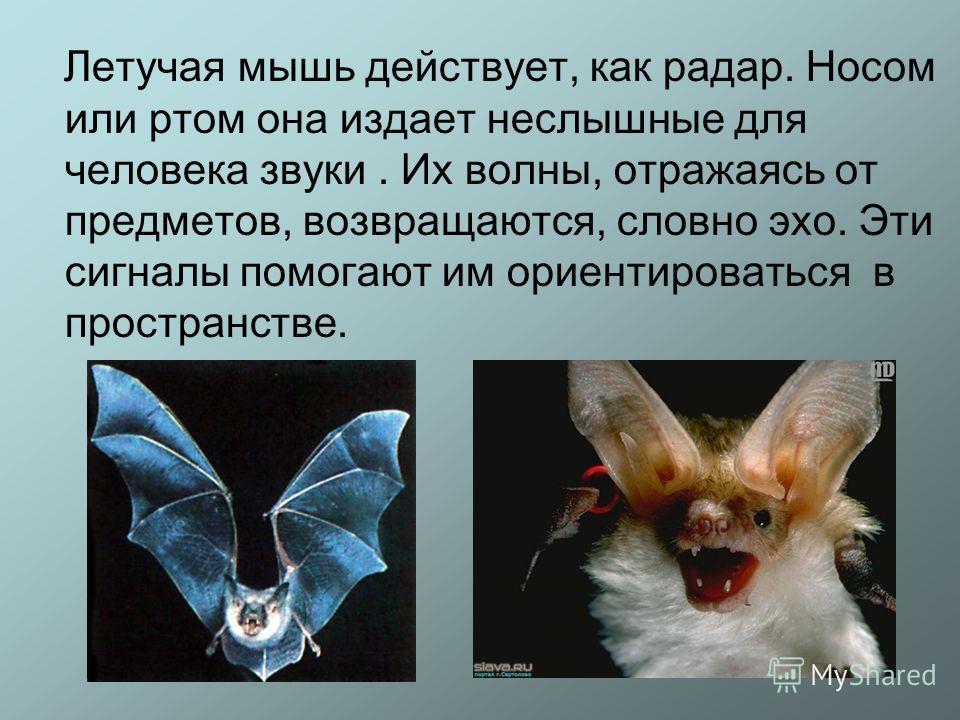 Летучая мышь действует, как радар. Носом или ртом она издает неслышные для человека звуки. Их волны, отражаясь от предметов, возвращаются, словно эхо. Эти сигналы помогают им ориентироваться в пространстве.