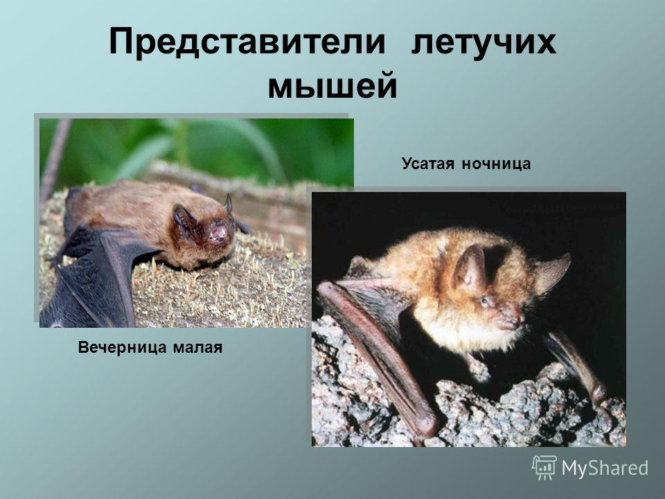 Представители летучих мышей Вечерница малая Усатая ночница