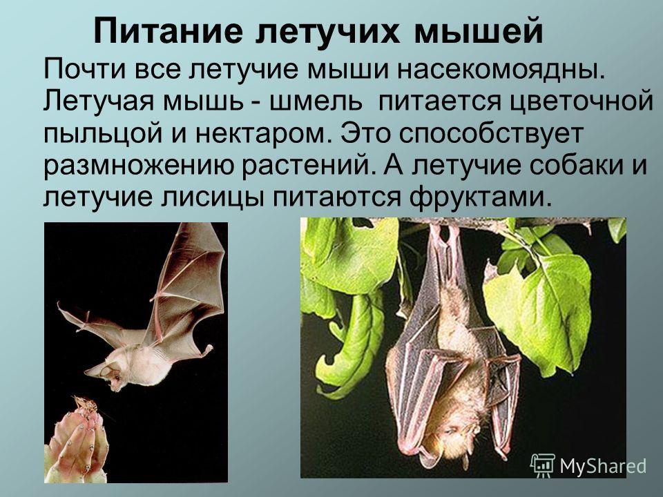 Питание летучих мышей Почти все летучие мыши насекомоядны. Летучая мышь - шмель питается цветочной пыльцой и нектаром. Это способствует размножению растений. А летучие собаки и летучие лисицы питаются фруктами.