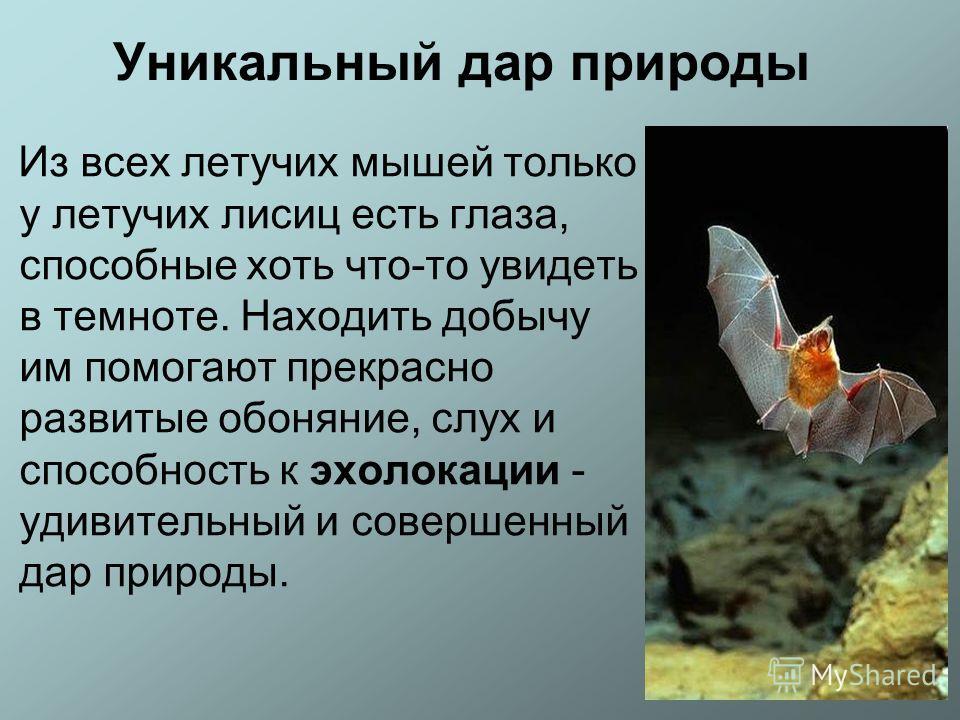 Уникальный дар природы Из всех летучих мышей только у летучих лисиц есть глаза, способные хоть что-то увидеть в темноте. Находить добычу им помогают прекрасно развитые обоняние, слух и способность к эхолокации - удивительный и совершенный дар природы