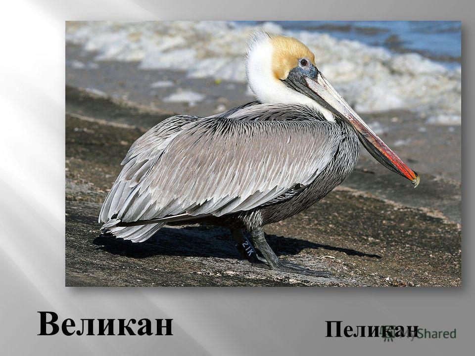 Пеликан Великан