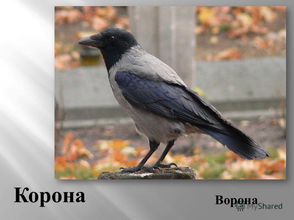 Ворона Корона