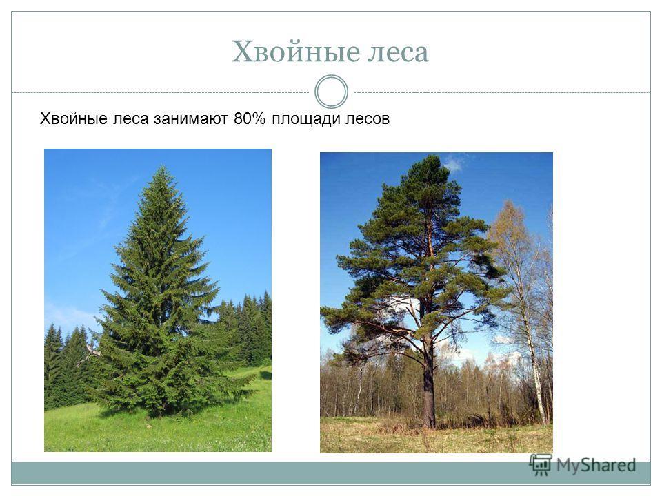 Хвойные леса Хвойные леса занимают 80% площади лесов