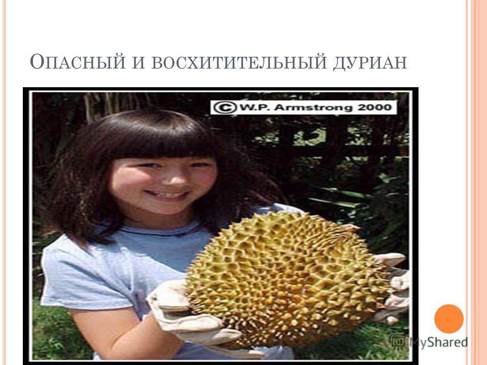 Если, оказавшись под сейшельской пальмой ( Lodoicea maldivica ), когда с нее падают орехи, вы останетесь целы и невредимы, считайте, что вам очень повезло. Ее плоды весят от 13 до 18 кг, и на одном дереве таких гирь бывает до семидесяти. Каждый орех