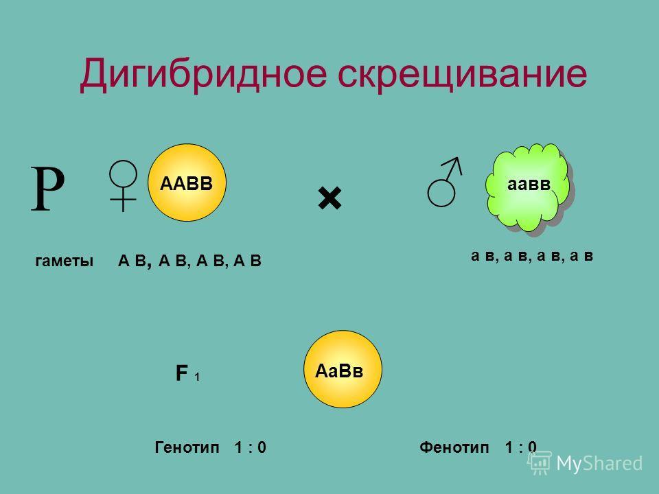 Дигибридное скрещивание × гаметы F 1 А В, А В, А В, А В Р ААВВаавв а в, а в, а в, а в АаВв Фенотип 1 : 0Генотип 1 : 0