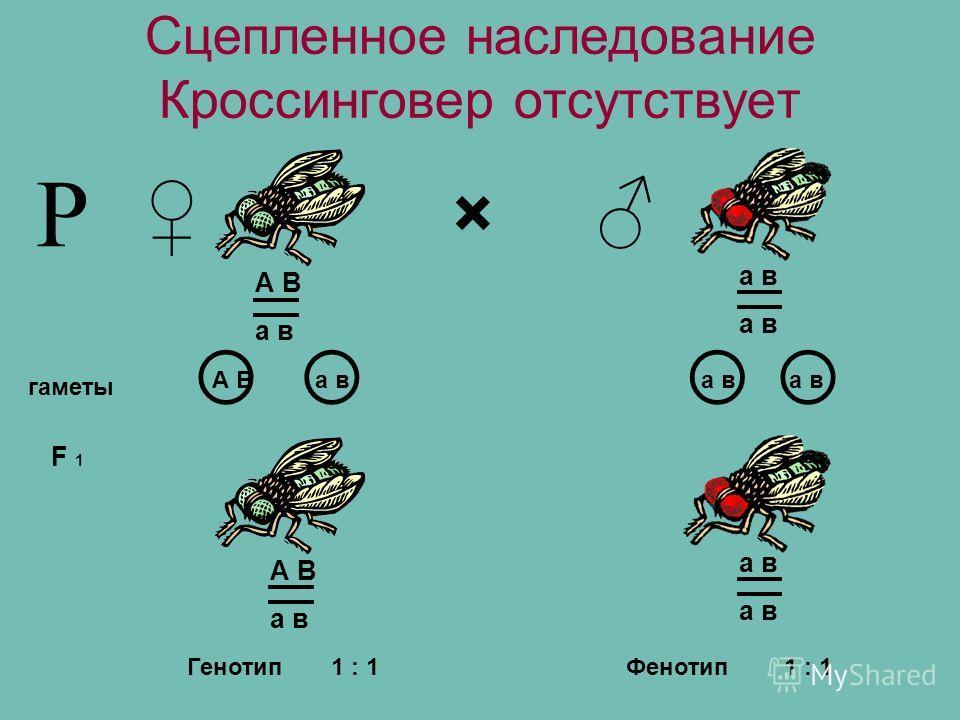 Сцепленное наследование Кроссинговер отсутствует × гаметы F 1 А В а в Р А В а в Генотип1 : 1 Фенотип А В а в