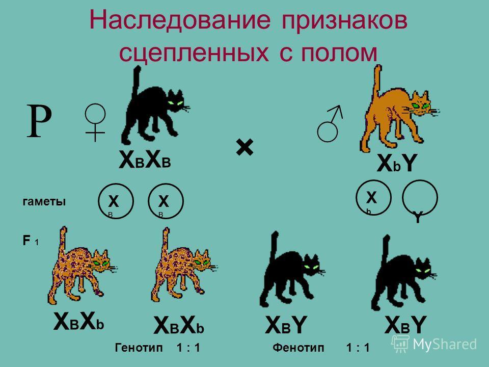 Наследование признаков сцепленных с полом × гаметы F 1 Р Генотип1 : 1 Фенотип XВXbXВXb XbYXbY XВXВ XВXВ XbXb Y XВXbXВXb XВXВXВXВ XBYXBYXBYXBY
