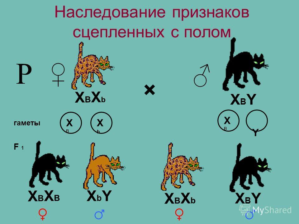Наследование признаков сцепленных с полом × гаметы F 1 Р XВXbXВXb XBYXBY XВXВ XbXb XBXB Y XВXBXВXB XВXbXВXb XBYXBY XbYXbY