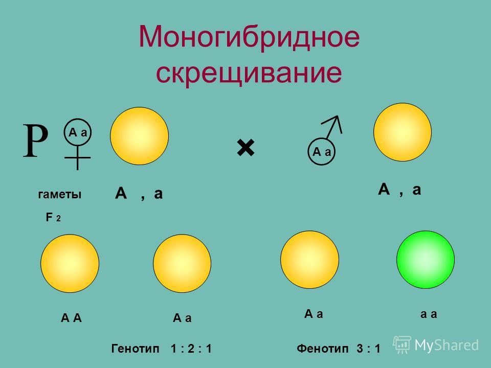 Моногибридное скрещивание × гаметы А а F 2 А, а А А а а Р Фенотип 3 : 1Генотип 1 : 2 : 1