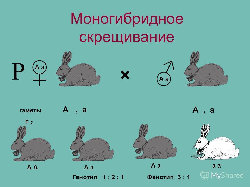 Моногибридное скрещивание × гаметы А а F 2 А, а А А а а Фенотип 3 : 1Генотип 1 : 2 : 1 Р