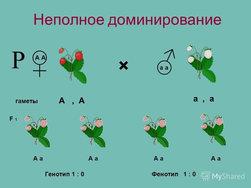 × гаметы А а F 1 А, А а, а А а Р Фенотип1 : 0 Неполное доминирование Генотип 1 : 0