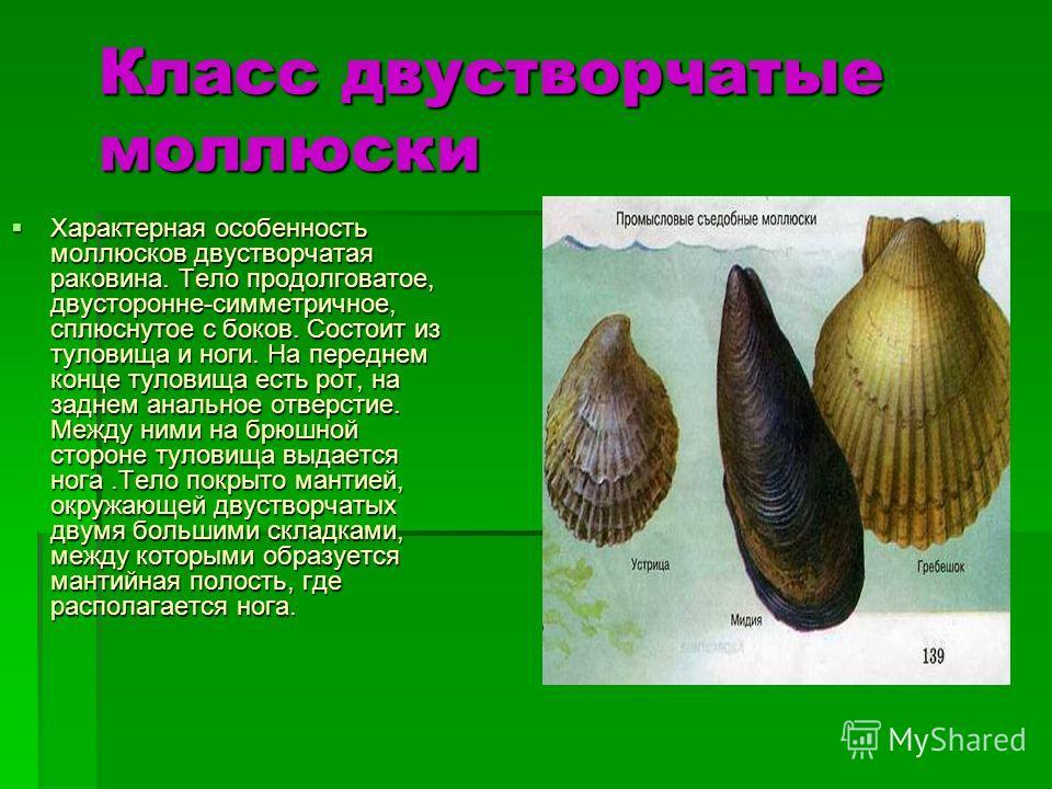 Класс двустворчатые моллюски Характерная особенность моллюсков двустворчатая раковина. Тело продолговатое, двусторонне-симметричное, сплюснутое с боков. Состоит из туловища и ноги. На переднем конце туловища есть рот, на заднем анальное отверстие. Ме