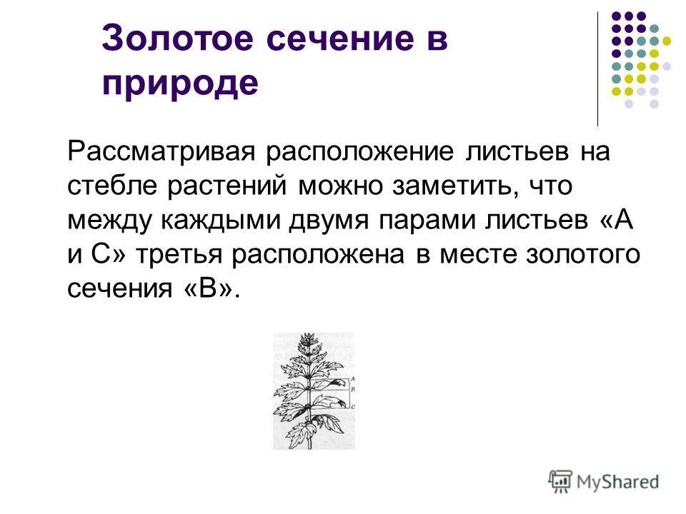 Золотое сечение в природе Рассматривая расположение листьев на стебле растений можно заметить, что между каждыми двумя парами листьев «А и С» третья расположена в месте золотого сечения «В».