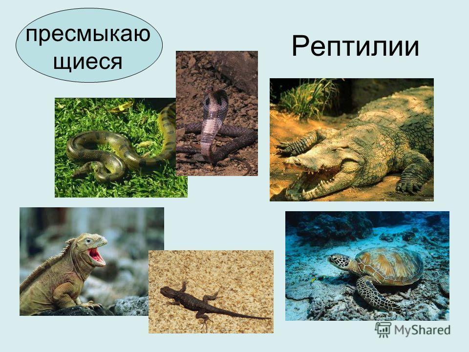 Рептилии пресмыкаю щиеся