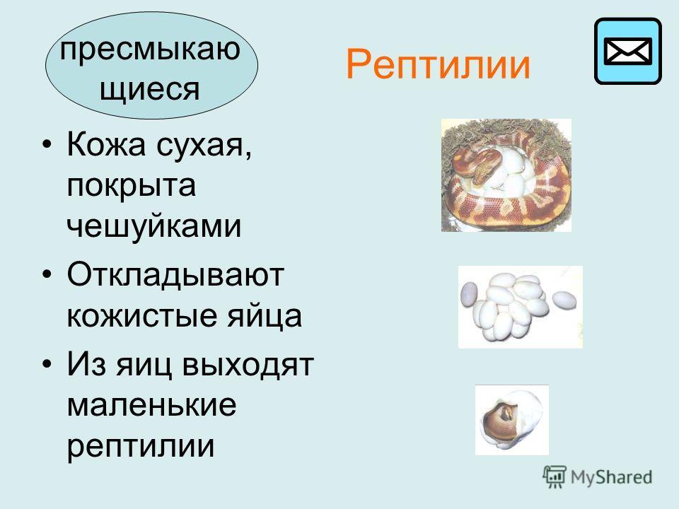 Рептилии Кожа сухая, покрыта чешуйками Откладывают кожистые яйца Из яиц выходят маленькие рептилии пресмыкаю щиеся