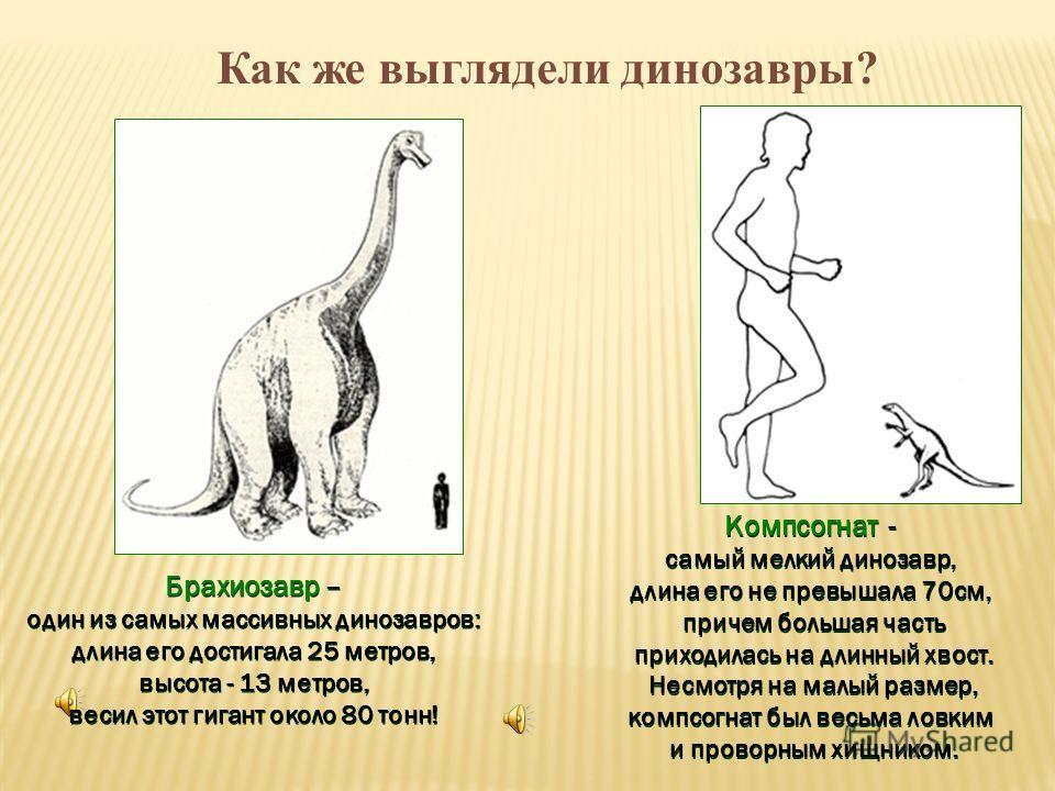 Брахиозавр – один из самых массивных динозавров: длина его достигала 25 метров, высота - 13 метров, весил этот гигант около 80 тонн! Брахиозавр – один из самых массивных динозавров: длина его достигала 25 метров, высота - 13 метров, весил этот гигант