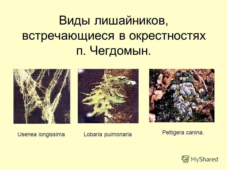 Виды лишайников, встречающиеся в окрестностях п. Чегдомын. Peltigera canina. Usenea iongissima Lobaria puimonaria