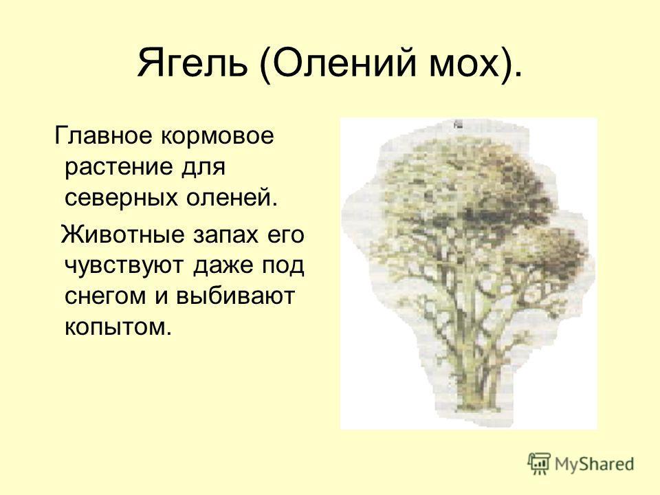Ягель (Олений мох). Главное кормовое растение для северных оленей. Животные запах его чувствуют даже под снегом и выбивают копытом.