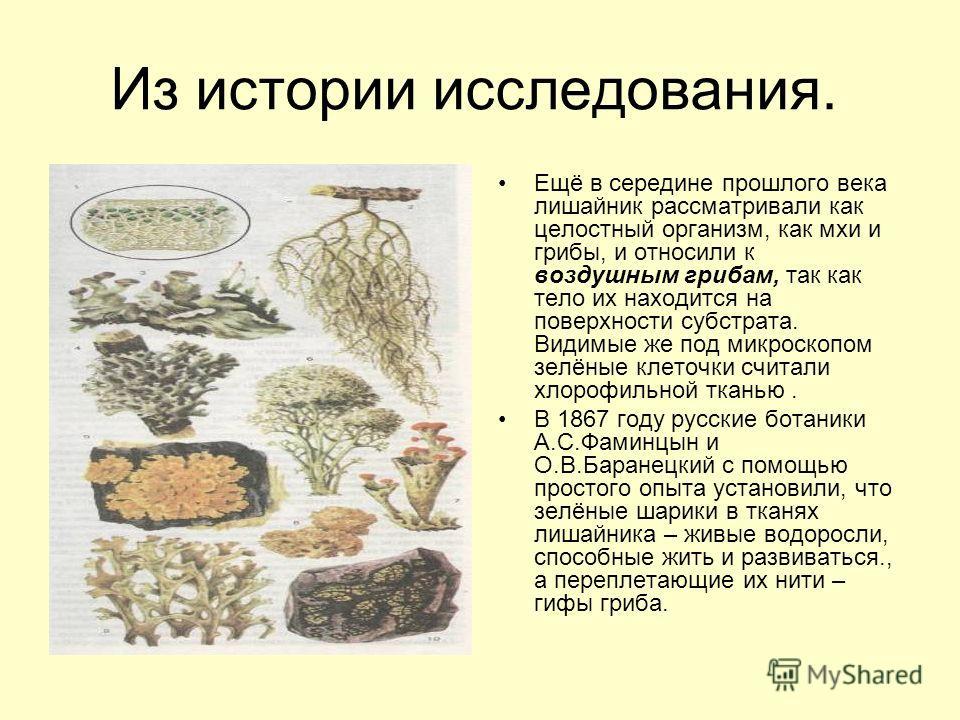 Из истории исследования. Ещё в середине прошлого века лишайник рассматривали как целостный организм, как мхи и грибы, и относили к воздушным грибам, так как тело их находится на поверхности субстрата. Видимые же под микроскопом зелёные клеточки счита