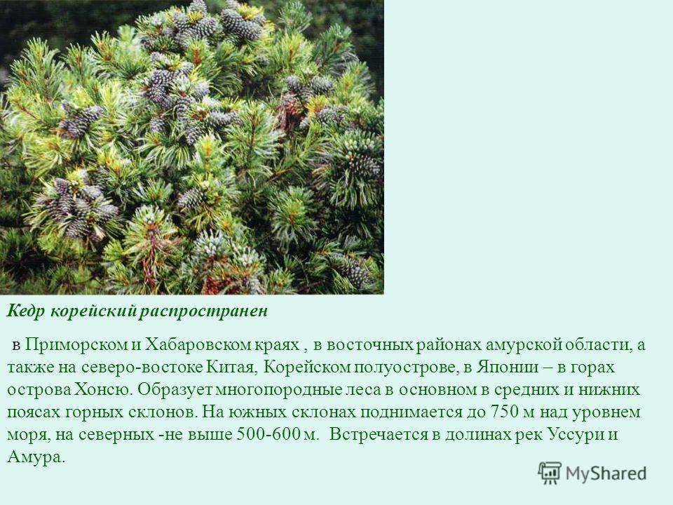 Кедр корейский распространен в Приморском и Хабаровском краях, в восточных районах амурской области, а также на северо-востоке Китая, Корейском полуострове, в Японии – в горах острова Хонсю. Образует многопородные леса в основном в средних и нижних п
