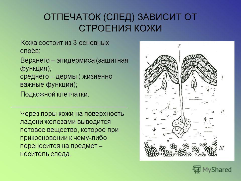 ОТПЕЧАТОК (СЛЕД) ЗАВИСИТ ОТ СТРОЕНИЯ КОЖИ Кожа состоит из 3 основных слоёв: Верхнего – эпидермиса (защитная функция); среднего – дермы ( жизненно важные функции); Подкожной клетчатки. _______________________________ Через поры кожи на поверхность лад