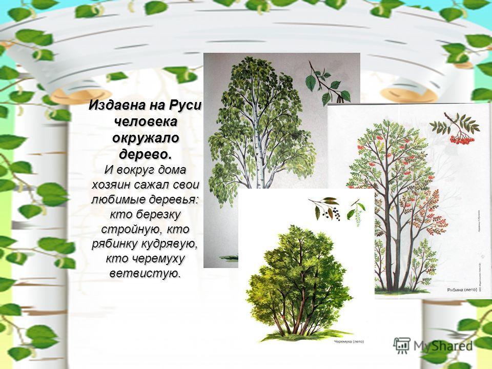 Издавна на Руси человека окружало дерево. И вокруг дома хозяин сажал свои любимые деревья: кто березку стройную, кто рябинку кудрявую, кто черемуху ветвистую.