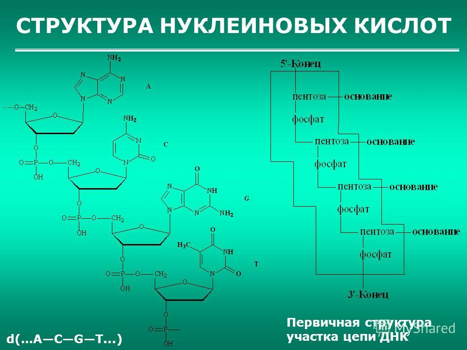 СТРУКТУРА НУКЛЕИНОВЫХ КИСЛОТ Первичная структура участка цепи ДНК d(…AСGТ...)