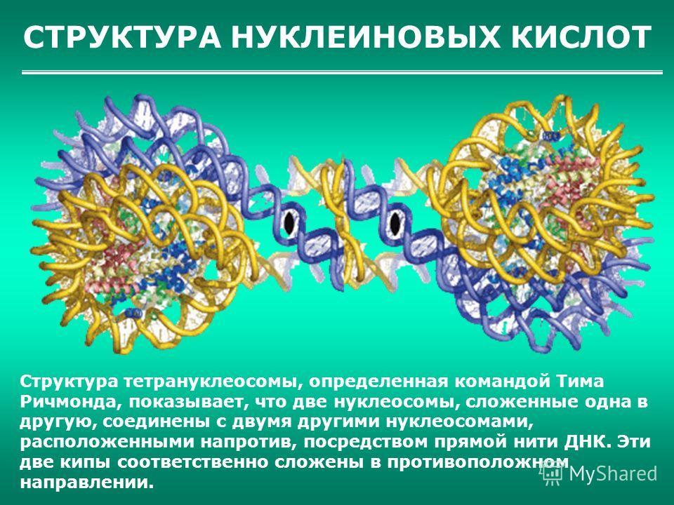 СТРУКТУРА НУКЛЕИНОВЫХ КИСЛОТ Структура тетрануклеосомы, определенная командой Тима Ричмонда, показывает, что две нуклеосомы, сложенные одна в другую, соединены с двумя другими нуклеосомами, расположенными напротив, посредством прямой нити ДНК. Эти дв