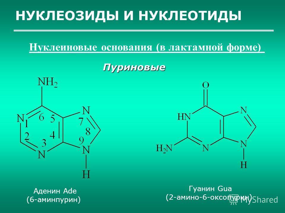 НУКЛЕОЗИДЫ И НУКЛЕОТИДЫ Нуклеиновые основания (в лактамной форме) Пуриновые Аденин Ade (6-аминпурин) Гуанин Gua (2-амино-6-оксопурин)