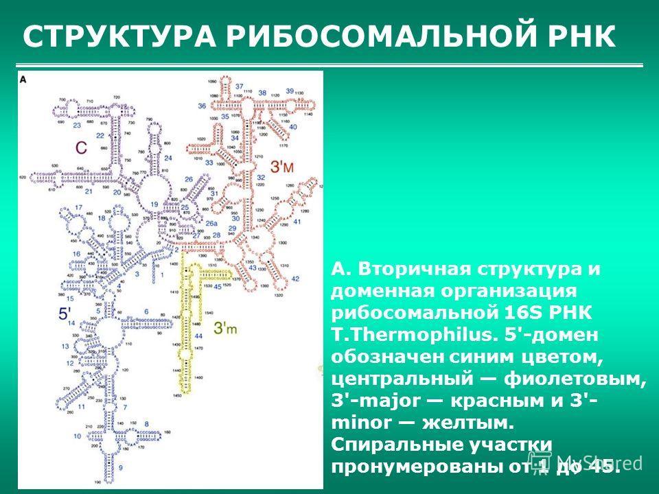 СТРУКТУРА РИБОСОМАЛЬНОЙ РНК А. Вторичная структура и доменная организация рибосомальной 16S РНК T.Thermophilus. 5'-домен обозначен синим цветом, центральный фиолетовым, 3'-major красным и 3'- minor желтым. Спиральные участки пронумерованы от 1 до 45.