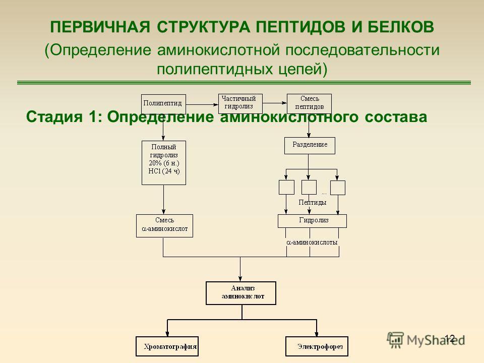 12 ПЕРВИЧНАЯ СТРУКТУРА ПЕПТИДОВ И БЕЛКОВ (Определение аминокислотной последовательности полипептидных цепей) Стадия 1: Определение аминокислотного состава