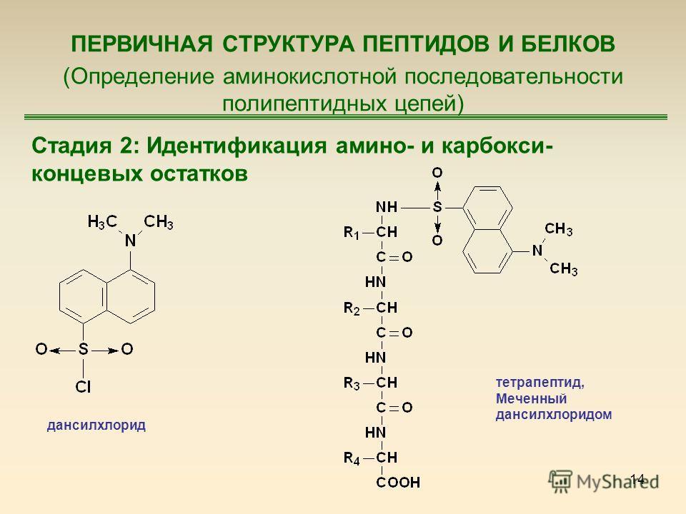 14 ПЕРВИЧНАЯ СТРУКТУРА ПЕПТИДОВ И БЕЛКОВ (Определение аминокислотной последовательности полипептидных цепей) Стадия 2: Идентификация амино- и карбокси- концевых остатков дансилхлорид тетрапептид, Меченный дансилхлоридом
