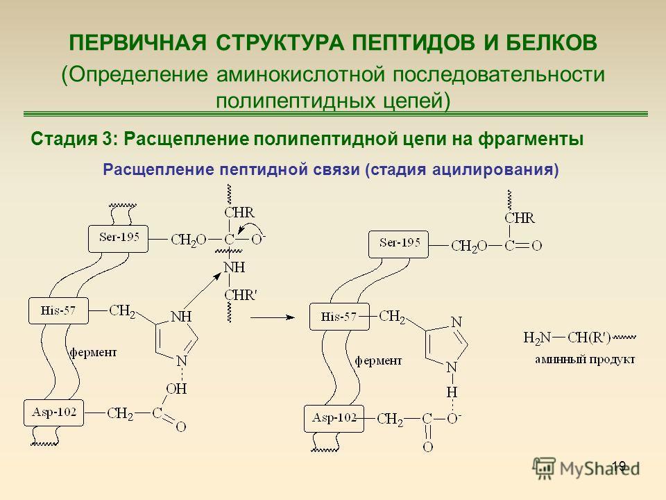19 ПЕРВИЧНАЯ СТРУКТУРА ПЕПТИДОВ И БЕЛКОВ (Определение аминокислотной последовательности полипептидных цепей) Стадия 3: Расщепление полипептидной цепи на фрагменты Расщепление пептидной связи (стадия ацилирования)