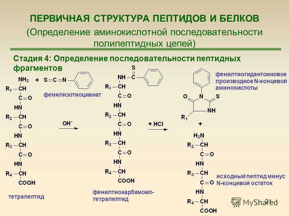 21 ПЕРВИЧНАЯ СТРУКТУРА ПЕПТИДОВ И БЕЛКОВ (Определение аминокислотной последовательности полипептидных цепей) Стадия 4: Определение последовательности пептидных фрагментов тетрапептид фенилизотиоцианат фенилтиокарбамоил- тетрапептид фенилтиогидантоино