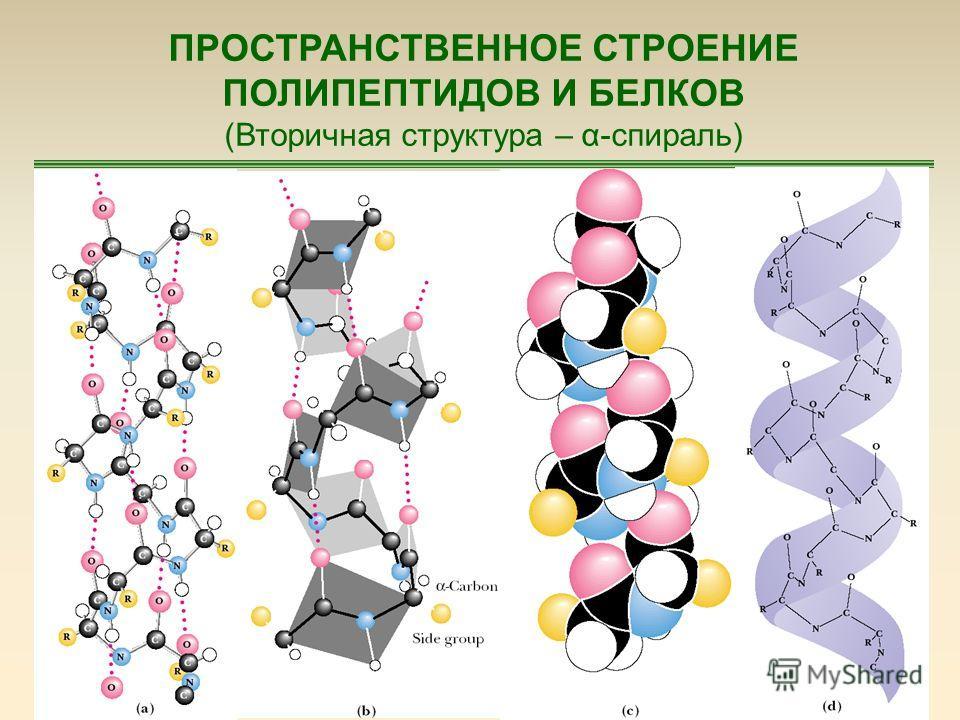 59 ПРОСТРАНСТВЕННОЕ СТРОЕНИЕ ПОЛИПЕПТИДОВ И БЕЛКОВ (Вторичная структура – α-спираль)