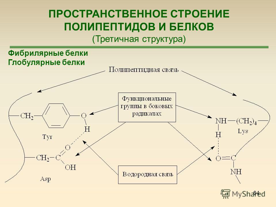 64 ПРОСТРАНСТВЕННОЕ СТРОЕНИЕ ПОЛИПЕПТИДОВ И БЕЛКОВ (Третичная структура) Фибрилярные белки Глобулярные белки