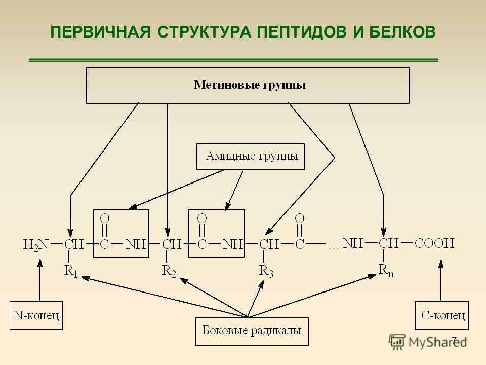 7 ПЕРВИЧНАЯ СТРУКТУРА ПЕПТИДОВ И БЕЛКОВ