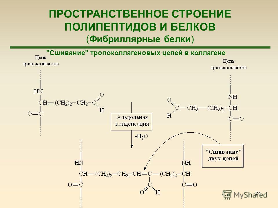 71 ПРОСТРАНСТВЕННОЕ СТРОЕНИЕ ПОЛИПЕПТИДОВ И БЕЛКОВ (Фибриллярные белки) Сшивание тропоколлагеновых цепей в коллагене